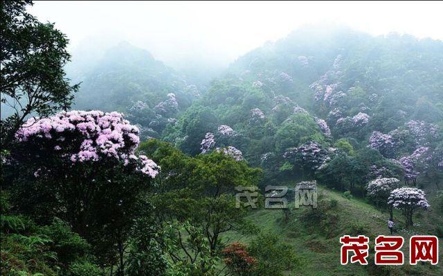 861015_云锦杜鹃(远景)